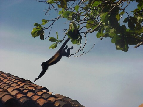 monkeyjumpingroof