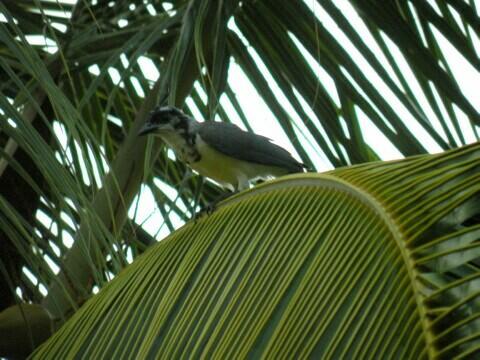 palmbird