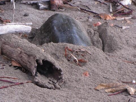 turtlelayingeggs