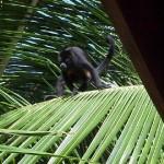 monkeypalm